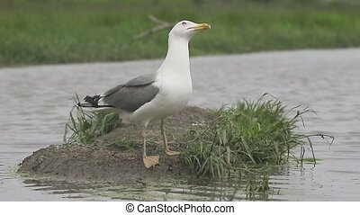 Yellow-legged gull, Larus michahellis, single bird by water,...