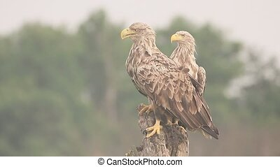 White-tailed sea-eagle, Haliaeetus albicilla, Two birds on...