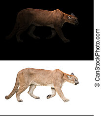 puma (Panthera onca) in the dark and white background - puma...