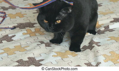 British cat sitting with his collar on a leash - Elite black...
