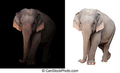 female asia elephant in the dark and white background -...