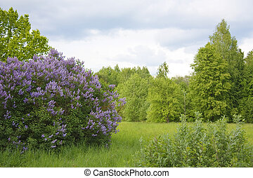 lilac in the Spring Park