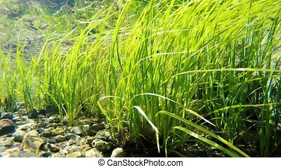 Underwater weed gently swaying - Clear shallow stream with...