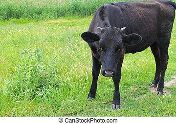 Black calf on the pasture