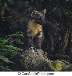 Stunning pine martin martes martes on branch in tree -...