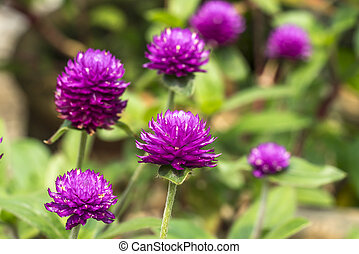 Flower with boleh background - Chrysanthemun flower with...