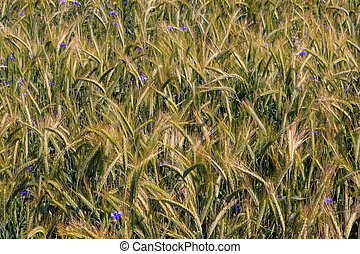 Rye(Secale cereale) ears closeup with Cornflowers,Podlasie...