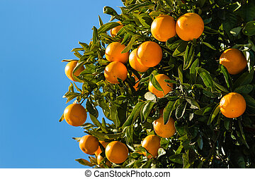 clementines ripening on tree against blue sky