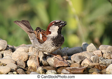 Passer domesticus on the stones near water - sparrow flew to...