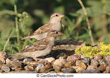 Two young passer domesticus - Two young sparrow flew to the...