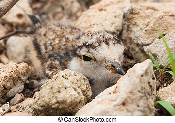 The young Little Ringed Plover disguise beside stone - The...