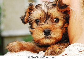 Yorkshire Terrier - Portrait of a littleYorkshire Terrier...