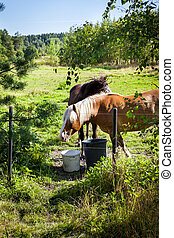 Horses grazing on field in summer day, much greenery, in...