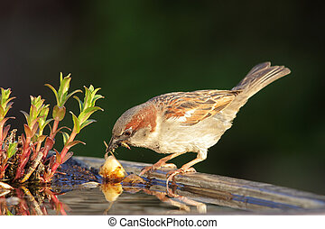 House Sparrow (Passer domesticus) drinking from a bird bath...