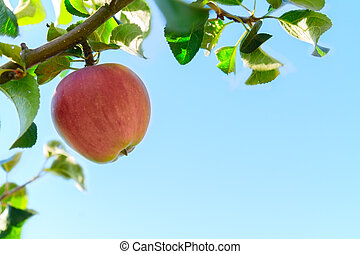 Apple hanging on tree, blue sky in background