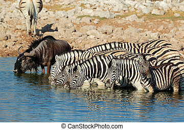 Zebras and wildebeest drinking water - Plains zebras (Equus...
