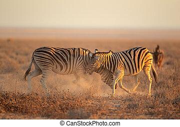 Fighting Zebras - Two Plains Burchells Zebra stallions Equus...