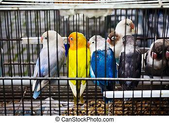 africano, lovebirds, (Agapornis), en, Mascota, Mercado