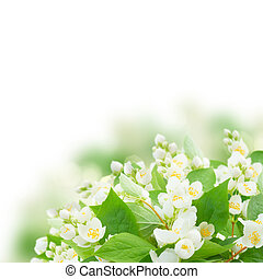 Jasmine flowers and leaves over white background