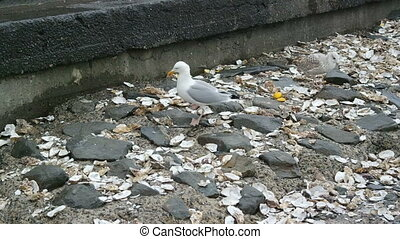 Pile of oyster shells and seagulls