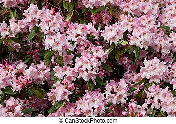Pink Azalea - Blossoming Pink Azalea for background