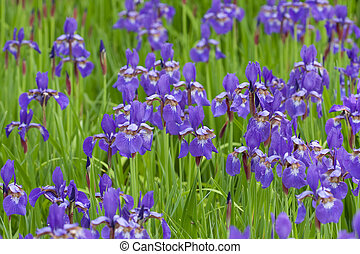 Irises - Field of purple irises.