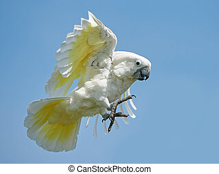 White Cockatoo (Cacatua alba) - White Cockatoo in flight...