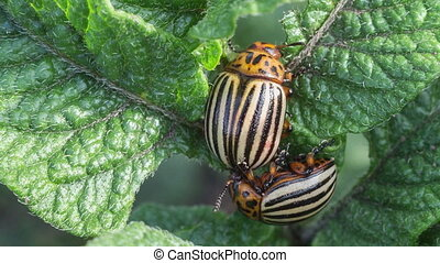 Colorado beetles