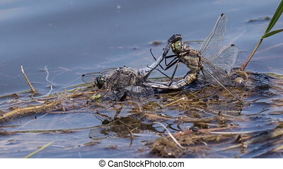 Dragonflies - Two dragonflies mating in the moment