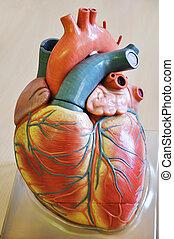 Human heart - Human heart
