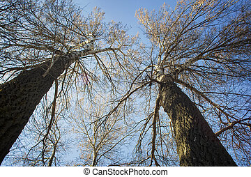 Kroner of birches without leaves against the blue sky