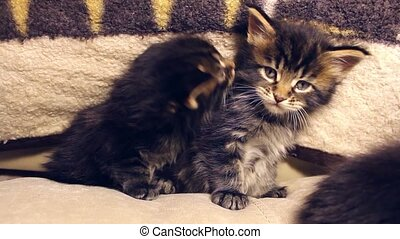 funny little kittens play and frolic at home