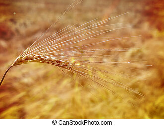 barley. ear of corn on field before harvest - barley in a...