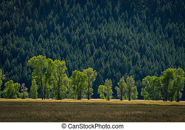 Cottonwood trees lit up in the morning - Line of cottonwood...