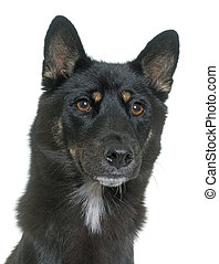 black shiba inu in front of white background