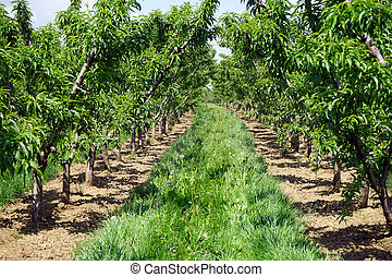 Peach trees - Rows of green peach trees in the orchard in...