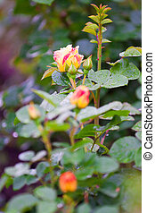 shrub roses in a garden coated dew drops