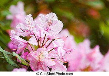 rhododendrons flowering shrubs in the garden - pink...