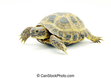 turtle  - Reptile turtle isolated on white