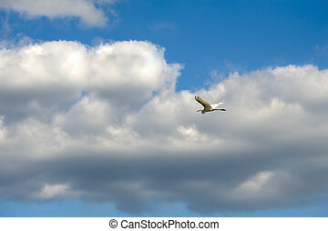 Egret - A white egret spreads its wings and flies across the...