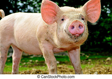 Cute young piglet - Cute young pig living outdoor