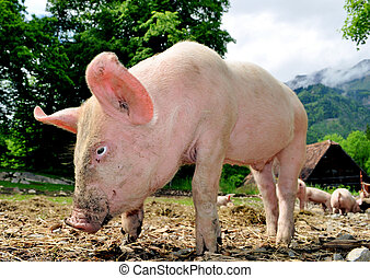 joven, cerdo