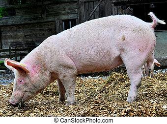ピンク, 豚