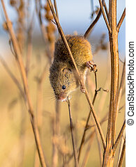 Harvesting mouse in plant - Harvesting mouse Micromys...
