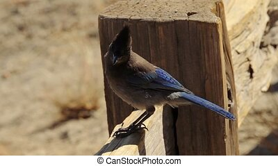 Blue Jay Bird, Yosemite Nationalpark, United States - Graded...