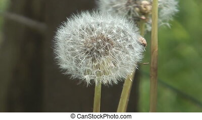 Blowball. - Fluffy dandelion on a wind a close up.