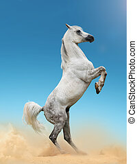 white arabian stallion - Beautiful gray arab stallion...