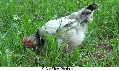 Chicken breed Russian crested looking for food. Farm...