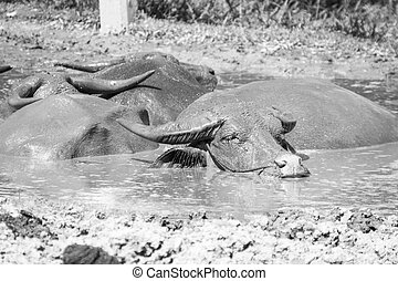 Buffalo relaxes in a mud