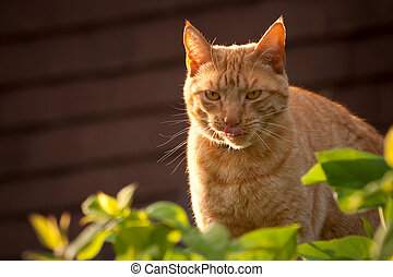 sunset tabby - red tabby cat licking his lips at sunset